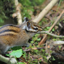 Townshend's Chipmunk