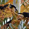 Melodious Black bird