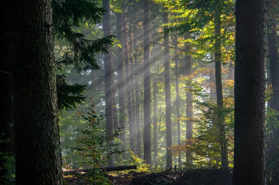 Morning Light by Ludvik Leben - Landscapes Forests ( green, forest, morning, light, rays )