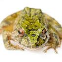 Green Robber Frog