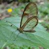 Hymenaea clearwing