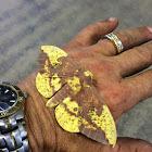 Imperial Moth