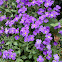 Purple rock cress (Aoυμπριέτα)