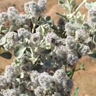 Silvertail Cotton Bush