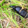 Europian oil beetle/ жук черная майка