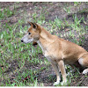The New Guinea singing dog