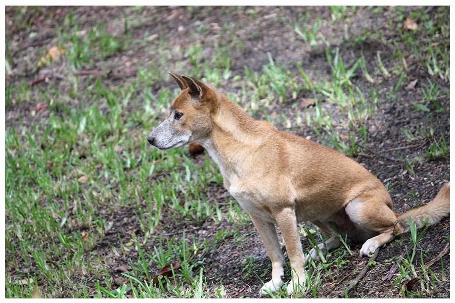 The New Guinea singing dog