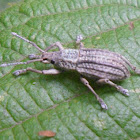 Broad-nosed Weevil  Family Curculionidae: Subfamily Entiminae