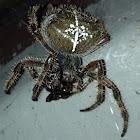 European Garden Spider (?)
