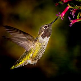Anna's Hummingbird 2779 by Ken Wade - Animals Birds ( cuphea ignea, calypte anna, anna's hummingbird, cigar plant,  )