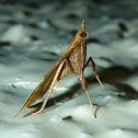 Gracillariid Moth