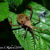 Squash bug (nymph)