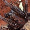 Large Brown Vagrant spider