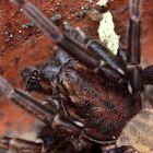 Large Brown Vagrant spider