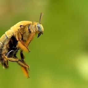 Dancing Bee by Balox Berhati Nyaman - Animals Insects & Spiders ( natural light, macro, nature, macro photography, fly, nature up close, insect )