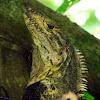 Spiny Tailed Iguana
