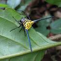 Shield Spider