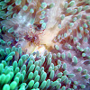 Sun Anemone Shrimp