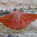 Thyridid moth
