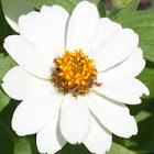 Zinnia, Profusion White Hybrid
