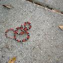 Scarlett Snake