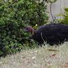 Scrub Turkey