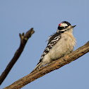 Downy Woodpecker in the breeze