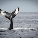 Habenero the Humpback Whale