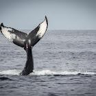 Habenero the Humpback Whale