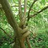Young Strangler Fig