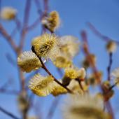 Kalendarz Pylenia Alergia