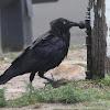 Australian Raven - adult