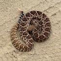 Diamond backed rattle snake