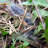 Walnut Caterpillar Moth