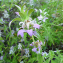 Horsemint (Spotted Beebalm)