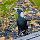 The Australian Magpie