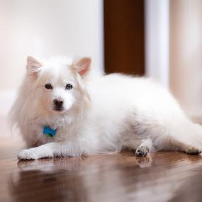 Beautiful Beau by Sandra Clukey - Animals - Dogs Portraits ( sandyclukey, pets, tennessee, photographer, portraits,  )