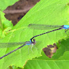 Blue-fronted Dancer damselflies (mating pair, in tandem)