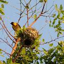 Southern Masked Weaver