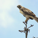 Aguililla Cola Roja, Red-tailed Hawk (juvenile)