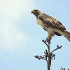 Aguililla Cola Roja, Red-tailed Hawk (juvenile)