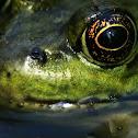 Northern Green Frog (eye)