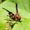 Paper wasp, female