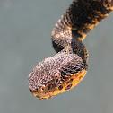 Jumping Pit Viper
