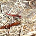 Dragonfly, Libelinha (pt), Tira-olhos, (pt), Libélula, Lavadeira (br)