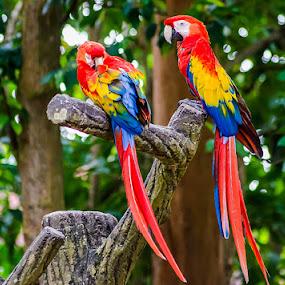 Colorful Parrots by Fitria Ramli - Animals Birds ( wild, animals, red, color, parrots, colorful, blue, green, yellow, birds,  )