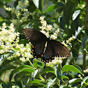 Female Eastern Tiger Swallowtail -dark morph