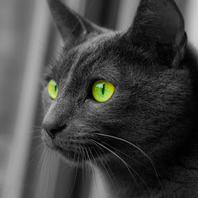 Russian blue by Bartas Mi - Animals - Cats Portraits ( animals, cat, black and white, pet, animal, eyes,  )