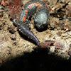Juvenile Giant False Brook Salamander