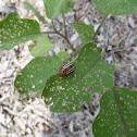 False Patato Beetle